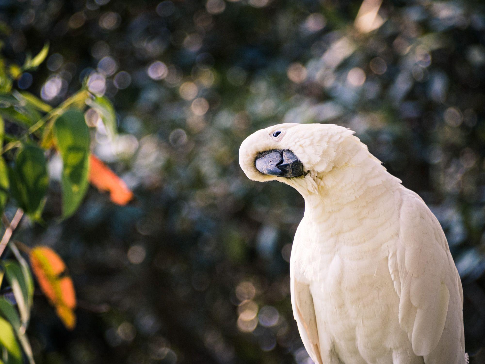 Cockatiel, curious